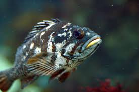 Rockfishes