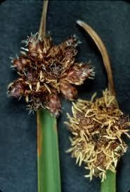 Schoenoplectus americanus - Michigan Flora