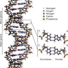 <b>DNA</b> - Wikipedia