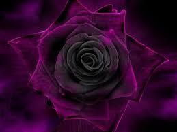 Risultati immagini per rose viola foto