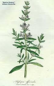 Hyssopus officinalis - Online Virtual Flora of Wisconsin