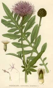 Centaurea scabiosa - Wikipedia