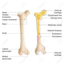 tag  human backbone diagram   human anatomy diagramdiagram of a human bone