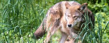<b>Explore</b> the <b>Wild</b>® - Red Wolves | Museum of Life and Science