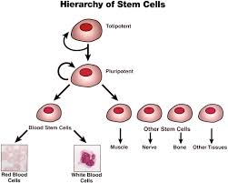 stem cells lessons teach stem cell biologypop