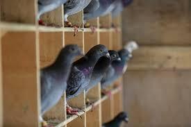 Teknolojini unutturduğu posta güvercinlerinin zorlu yolculuğu