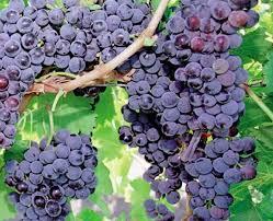 Resultado de imagen para poda de viñas en chile