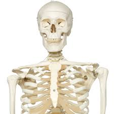 Image result for standard skeleton model