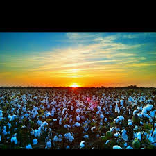 Sunset on a  Delta Cotton Field