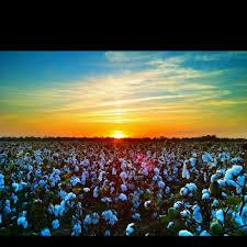 Sunset on a  Delta Cotton Field