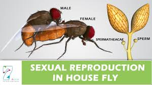 Image result for life stages of a housefly
