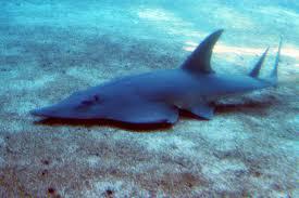 pigeye shark wikiwand