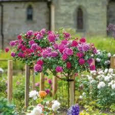 Standard Tree <b>Roses</b> - David Austin <b>Roses</b>