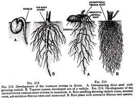 the root  regions and functions  with diagram development of the taproot system in dicots and adventitious fibrous root system in monocots