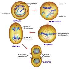 mitosis   introduction to mitosis   mitosis explained with diagram    pictorial illustration of mitosis process