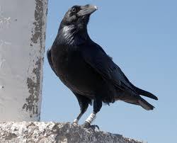 Resultado de imagen de cuervo