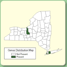 Helleborus - Genus Page - NYFA: New York Flora Atlas - NYFA ...