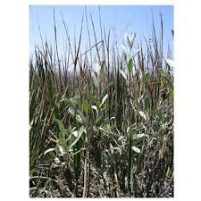 Artemisia coerulescens - assenzio marino