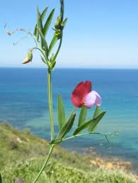 Lathyrus clymenum (Crimson Pea) : MaltaWildPlants.com - the ...