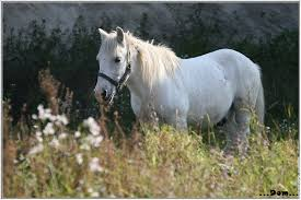 """Résultat de recherche d'images pour """"cheval blanc"""""""