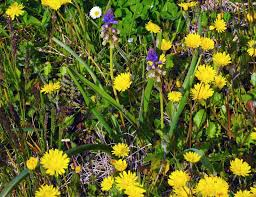 Bellevalia webbiana Parl. - Giacinto di Webb - Forum Acta Plantarum