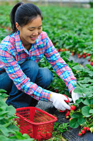 work experience options a girl picks strawberries