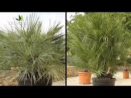 Comment planter un palmier chamaerops humilis ? - Jardinerie ...