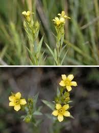 Linum strictum L. subsp. strictum | Naviga la Flora | Flora Modena