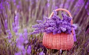 Bildresultat för lavender