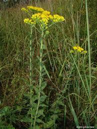 Solidago rigida - Michigan Flora