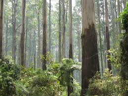 big ben s portrait the people environment blog sherbrooke forest dandenong ranges 2009 by nick carson at en