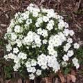 arenaria plant