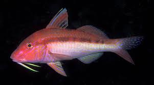 Blue-lined goatfish