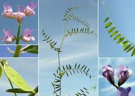 Vicia disperma DC. - Sistema informativo sulla flora vascolare dei ...