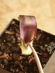 Learn about Biarum tenuifolium | Narrow leaf Half Arum | Perennial ...