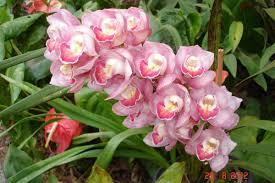 Resultado de imagem para rainha do egito orquideas