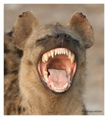 Image result for hyena images