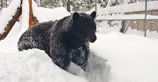 BEAR BEAR ALPINE ZOO  PurrFect Time To Visit The Animals  PHOTO     Pooh  a black bear  Ursus americanus   invites you to come and visit him at the Big Bear Alpine Zoo during the winter months   Photo By Big Bear Alpine Zoo