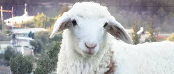 Image result for passover lamb