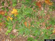 wavyleaf basketgrass: Oplismenus undulatifolius (Cyperales ...