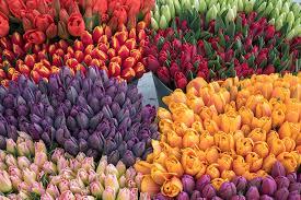 <b>Tulips</b>.com: Fresh Cut Flowers & Spring Flowering Bulbs
