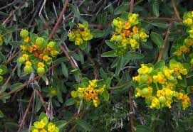 Euphorbia flavicoma - Wikipedia, la enciclopedia libre