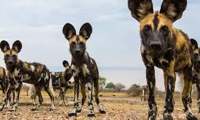 African Wild <b>Dog</b> | Species | WWF