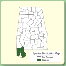 Sporobolus pumilus - Species Page - APA: Alabama Plant Atlas
