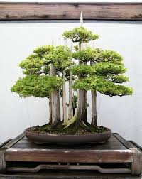 6 bonsai forest bonsai tree