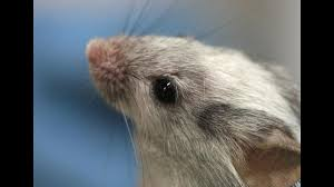 thousands of italian scientists protest strict limits on animal italian law would bar the use of animals such as laboratory mice