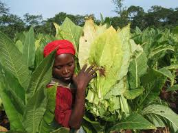 Image result for tobacco farming