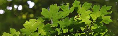 Arten - Stumpfer Frauenmantel (Alchemilla obtusa Buser)