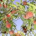 native peach