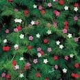 Images & Illustrations of cypress vine